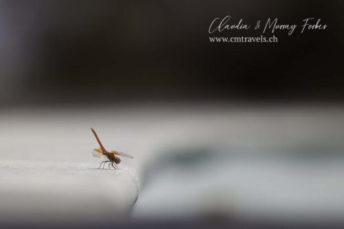 The-Motse-tswalu-wildlife-nature-dragonfly