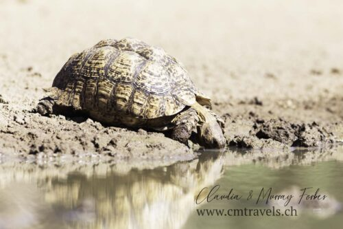 The-Motse-tswalu-wildlife-nature-leopard-tortoise