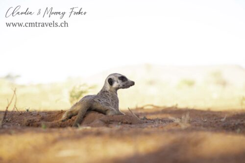 The-Motse-tswalu-wildlife-nature-meerkat