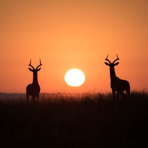 Impala-Sonnenuntergang-Afrika-Safari-Natur-Wildlifephotoraphy