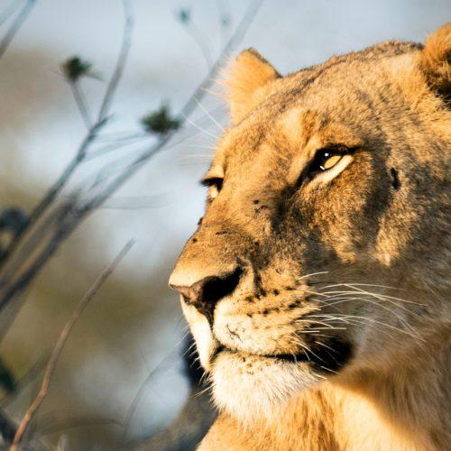 Safari-Löwe-Frau-Afrika-Foto-Safari-CM-Reisen-Big-Cat-Woche