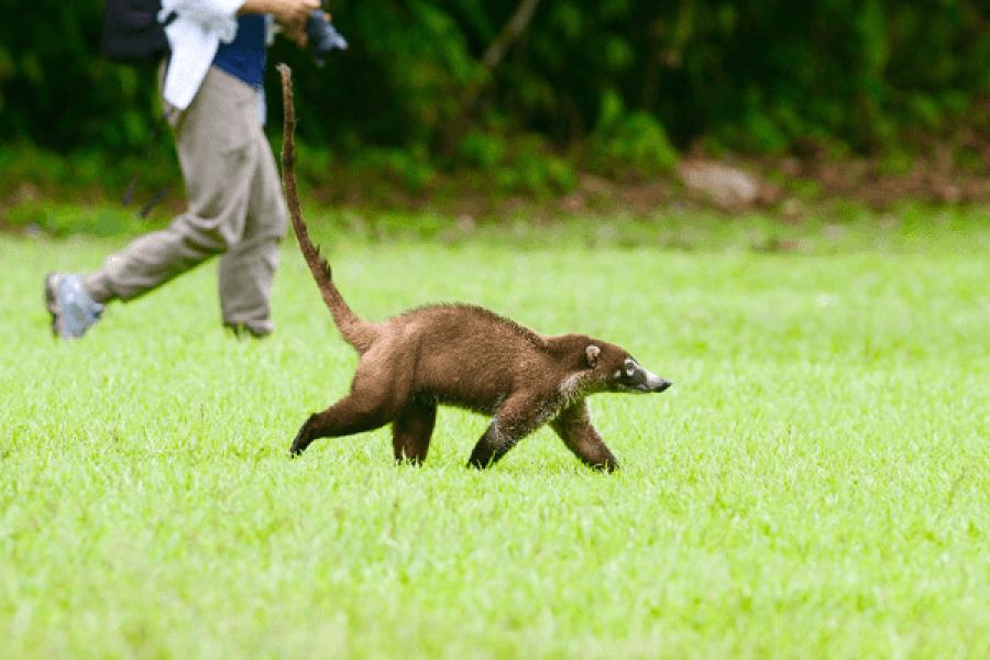 Coati-Costa Rica - Natur - Wildtiere - Fotografie