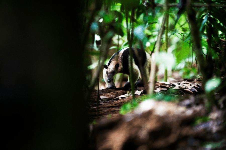 Costa Rica - Halsband Ameisenbär - Tierwelt - Fotografie - Natur