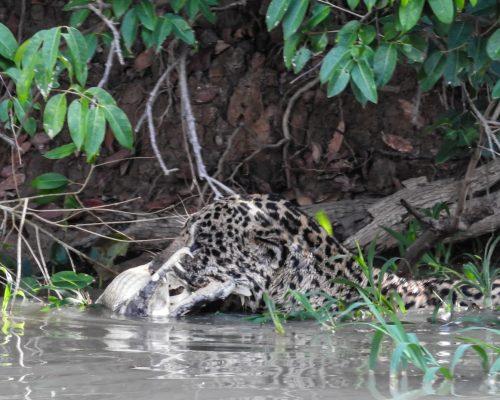 CM Travels | Brazil | Jaguar with Caiman kill