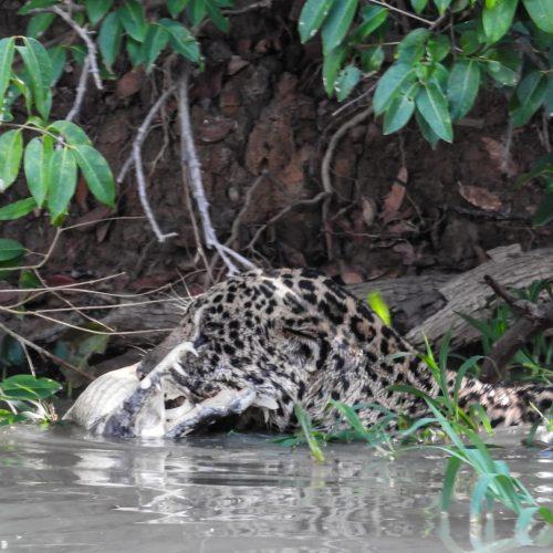 CM Travels   Brazil   Jaguar with Caiman kill