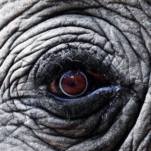 Elefanten-Auge-Wildlife-Reisen-Safari-Natur-big5-Reisen