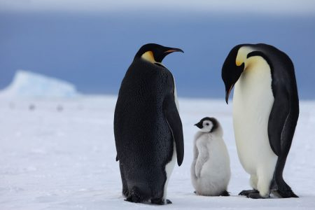 cm-travels-antartica-wildlife-nature-white-desert-camp-emperor-penguins-ulitmate-luxury-private-colony-father-leaving