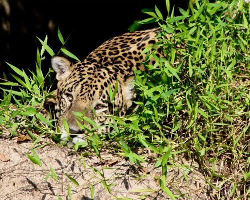 Jaguar-am-Flussufer