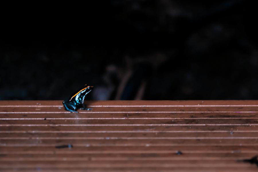 Costa Rica - Giftpfeil Frosch - Natur - Wildtiere