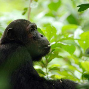 Nomad-Tansania, Safari, Natur, Tierwelt, Schimpansen, Mahale, Greystoke-CMTravels