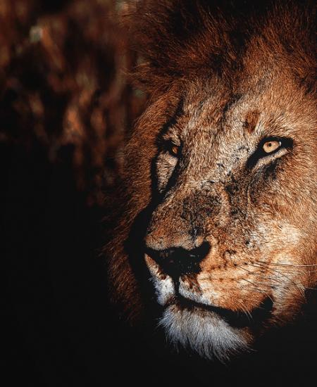 Männlicher-Löwe-Verschluss-Portrait-Löwe-Safari-Wildlife-Natur-Luxus-Reisen-Fotografie-CM-Reisen