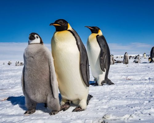 cm-travels-antartica-wildlife-nature-white-desert-camp-emperor-penguins-ulitmate-luxury-private-family-group