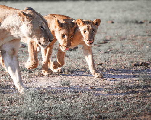 Lion-Safari-Wildlife-Nature-Luxury-Travel-Photography-CM-Travels-cubs