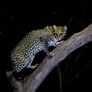 Ozelot-Brasilien - Natur- Pantanal - Wildtiere