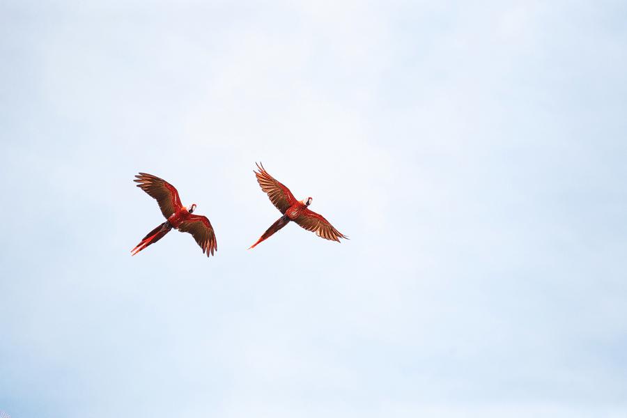 Scharlach - Ara - Costa Rica- Natur- Fotografie- Natur- Fotografie- Tierfotografie- Tierfotografie