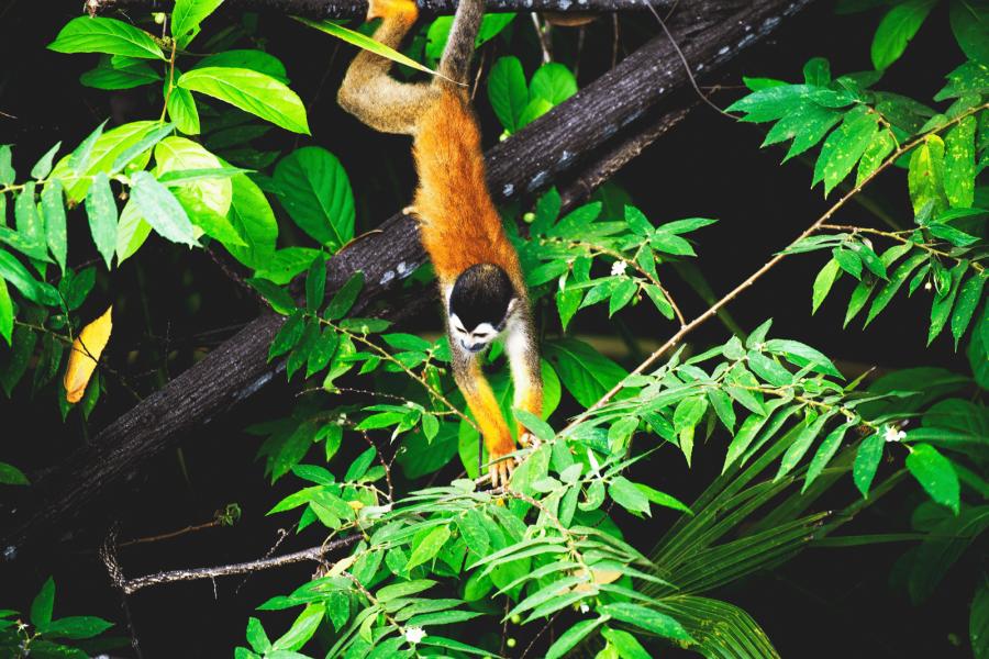 Eichhörnchenaffen - Wildtiere - Fotografie - Costa Rica