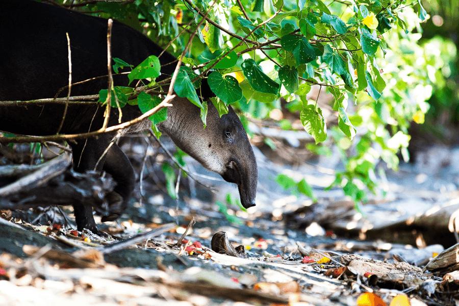 Tapir-citsa-rica-naturstrand-wildlife-photographie