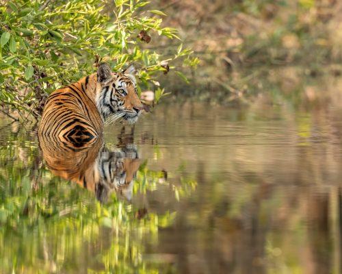 CM-Travels-Jayne-Bond-Tiger1(Full Size)-15.04.18_54I8469