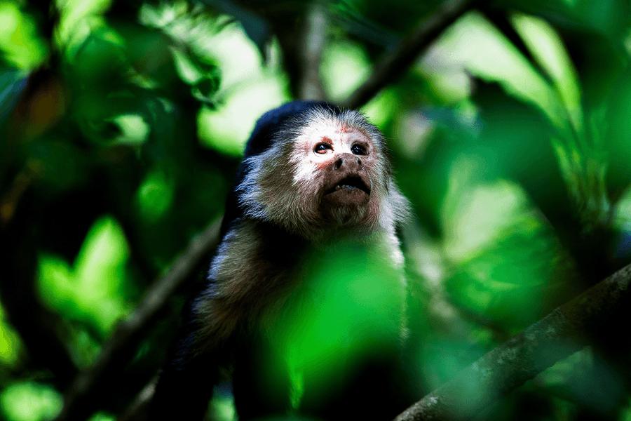 weißgesichtiges Kapuziner-Capuchin-Costa-Rica-Natur-Wildtier-Reisen