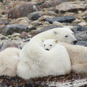 Polar - Bär - Kanada- Arktis- Natur- Tierwelt - Bärenfamilie