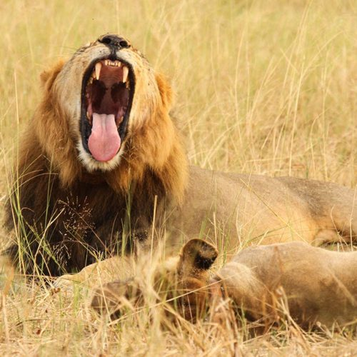 CM-travels-Bomani-Camp-Machaba-Safaris-Hwange-Zimbabwe-male-lion-yawn