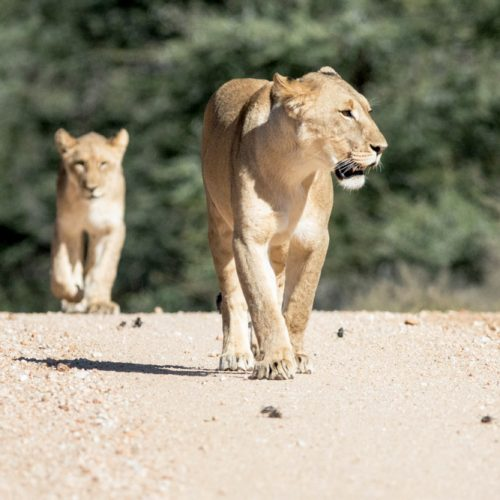 erindi-old-traders-lodge-cm-travels-namibia-wildlife-nature-safari-camp-lioness