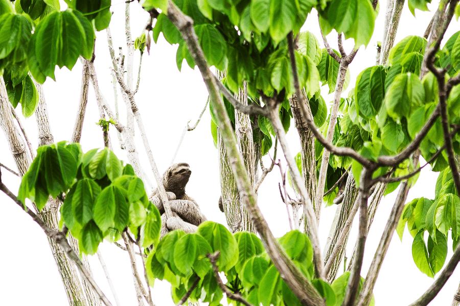 Sloth- Costa Rica- Natur - Tierwelt - Fotografie