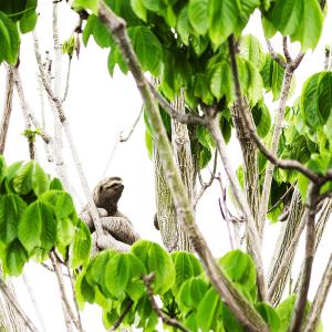 Three-Toed-Sloth-tree-nature-costa-rica
