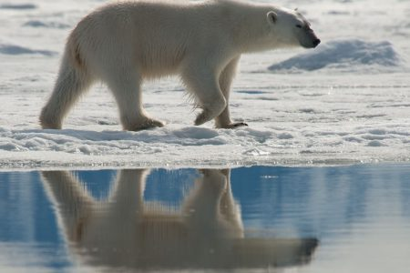cm-travels-artic-wildlife-nature-polar-bear-ulitmate-luxury-svarlbard-reflection