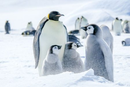 cm-travels-antartica-wildlife-nature-emperor-penguins-ulitmate-luxury-private-south-pole-emperor-penguin-family